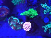 Korallen - Ableger ab 5 00
