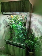 Pantherchamäleon Bock mit Terrarium