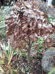 Bonsai-Eiche Blutberberitze Wald-Gaisbart Mahagoni u