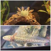 Schöne Axolotl BD frei und