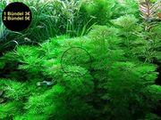Kleine Ambulia Aquarienpflanzen Versand