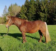 Dt Classic Pony zu verkaufen