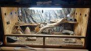 Zwergbartagame männlich 5Jahre mit Terrarium