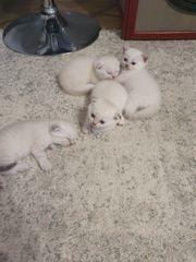 Scottish fold kitten