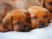 Broholmer Welpen Seltenheit Familienhund