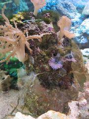 Meerwasser Lebendgestein mit Korallen