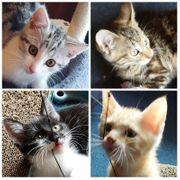 Main Coon Kitten Mischling Kater