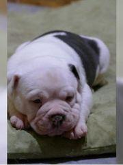 Olde englishe Bulldogge Welpen OEB