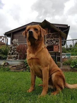 Bild 4 - Labrador Deckrüde reinrassig in tiefem - Dormagen