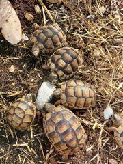 marginata breitrandschildkröten Nachzuchten