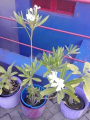 oleanderpflanzen