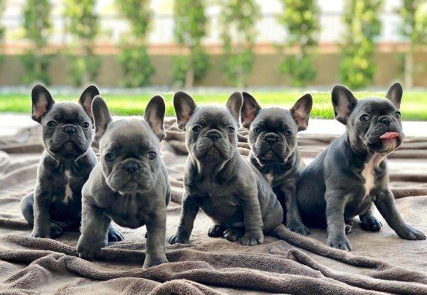 Franzosische Bulldogge Rude Isabella Trager In Frankfurt Hunde Kaufen Und Verkaufen Uber Private Kleinanzeigen