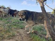 Welpen von russischen wolfshund
