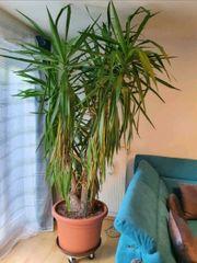 Yucca Palme mit Topf