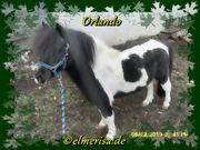 Deckanzeige Shetlandhengst Orlando