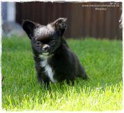 Typvolle Chihuahua Welpen - mit Ahnentafel