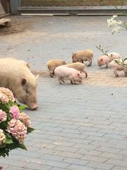 10 Minischweine suchen ein neues
