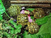 2- jährige griechische Landschildkröten THB