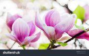 20 Stück Tulpen-Magnolie Soulangiana