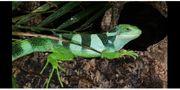 Brachylophus fasciatus 2 4 Nachzuchten