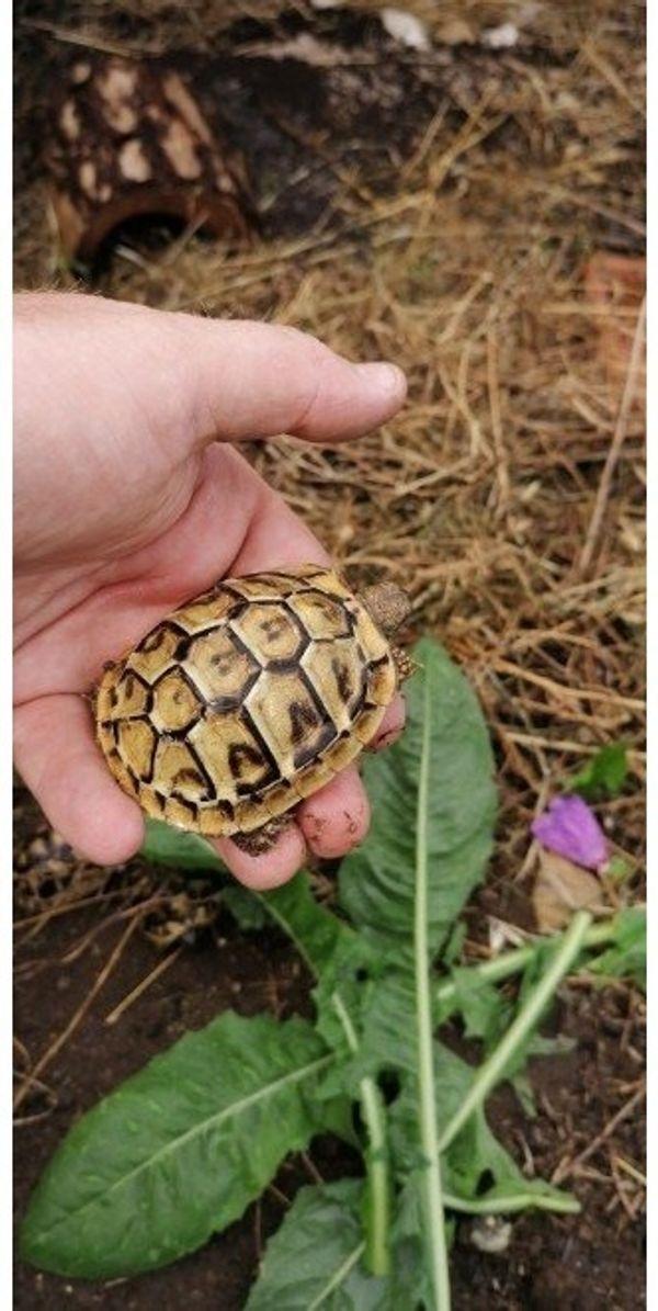 Testudo hermanni boettgeri Nachzuchten Landschildkröte