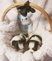 Bezaubernde kleine Biewer Yorkshire Terrier