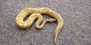 Verkaufe oder Tausche 4 Schlangen