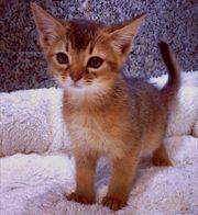 Zuckersüße reinrassige Abessinier Kitten