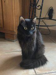 Langhaar-Katze Morin sucht ein Zuhause