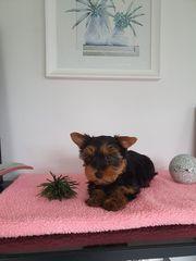 Yorkshire Zwerg-Yorkshire Terrier Rüden Pap
