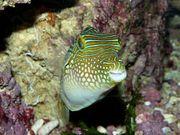 Meerwasser Canthigaster solandris Kugelfisch
