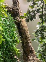 Leachianus nuu ami Weibchen