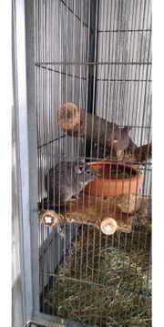 Degus inklusive Käfig und Zubehör
