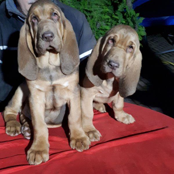 Bloodhound Jagdhund Mantrailer Familienhund Welpen