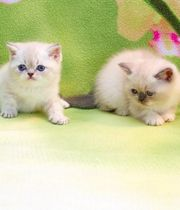 BKH Kitten Jungs