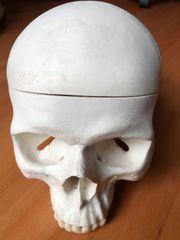 Schädel Lehrmodell Anatomie Schädelmodell Unterkiefer