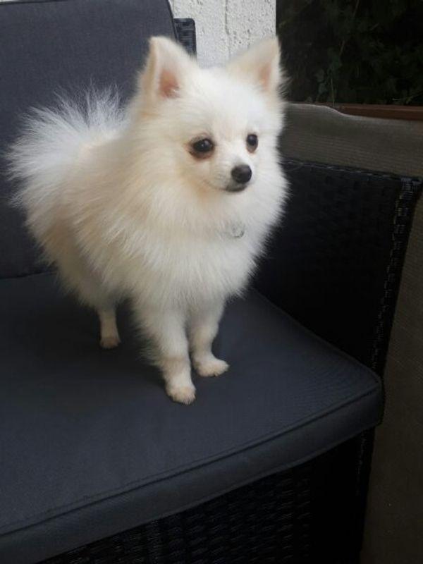 Reinrassiger Pomeranian Mini