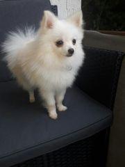 Reinrassiger extrem Mini Pomeranian