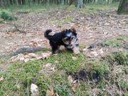 yorkshire terrier sucht ein neues