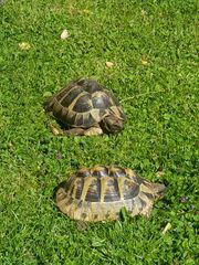 Zwei Griechische Landschildkröten