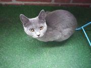 Russisch Blau BKH Katze sucht