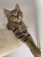 Edelmix Kitten Khao Manee - Maine