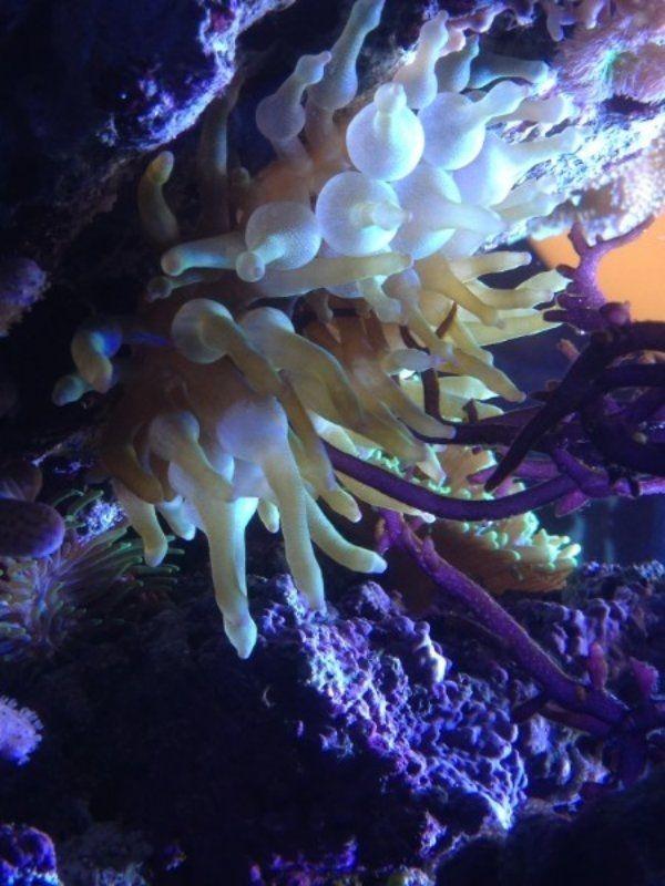 grüne anemone meerwasser