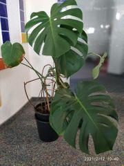 schöne grosse Zimmerpflanze Fensterblatt 98cm