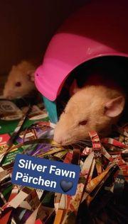 Silver Fawn Rattenwurf gepurzelt