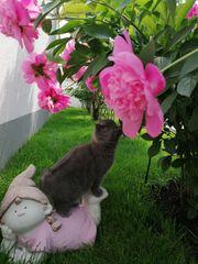 Reinrassuge BKH Kitten