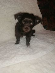 Chihuahua Welpen LH