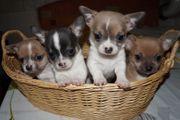 Weibliche und Männliche Chihuahua Welpen
