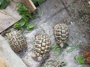Griechische Landschildkröten männlich aus artgerechter