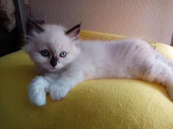 Bezaubernde Ragdoll-Kitten-Babys suchen neues Zuhause